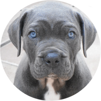 Cane-Corso chien race - Caniland's Dream