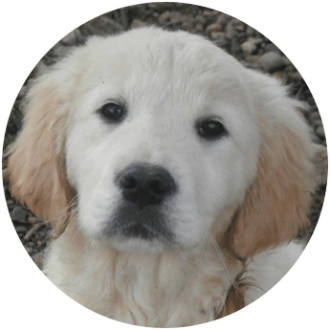 Golden-retriewver chien race - Caniland's Dream