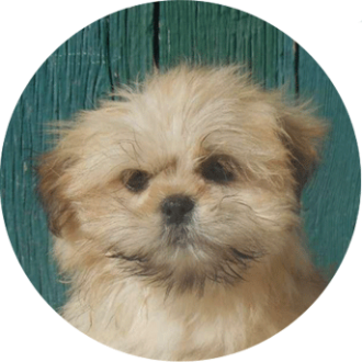 Lhassa-apso chien race - Caniland's Dream
