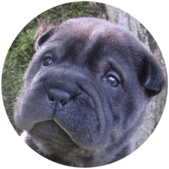 Sharpei chien race - Caniland's Dream